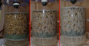 Besiedelung von Walnusshälften mit Essigbakterien nach 1, 3 und 5 Tagen